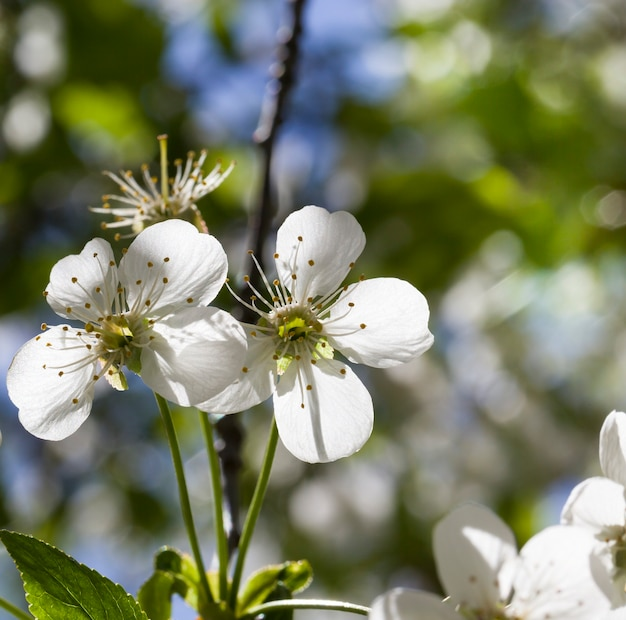 Full-bloom fruit trees in the springtime in the garden, close-up and details of plants in bloom