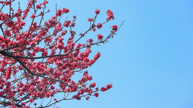 Full blooming japnese dark pink cherry blossom sakura
