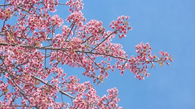 전체 피 핑크 벚꽃 치앙마이 태국에서 사쿠라 꽃 나무입니다.
