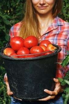 家庭用温室に集められた完熟トマトのバケツ一杯