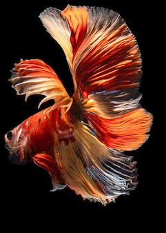 Full color halfmoon simaese fighting fish