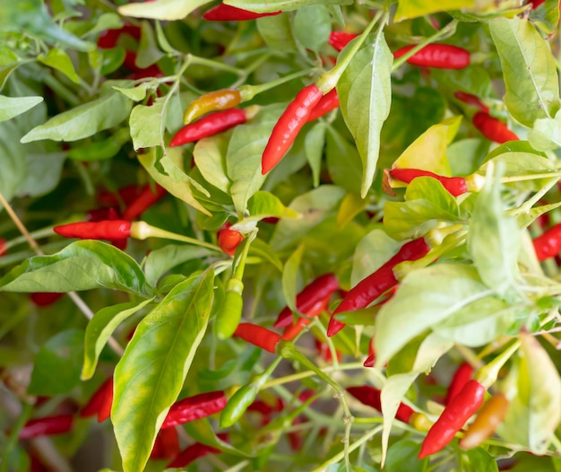 Full farme red and green guinea-pepper