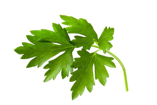 Полный фокус ветки петрушки со свежими листьями и ароматным запахом для приправы и приготовления пищи.