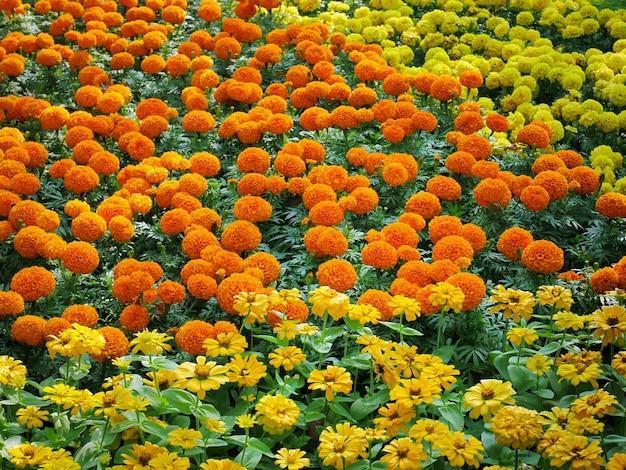 Full frame background of vibrant marigold flowers field