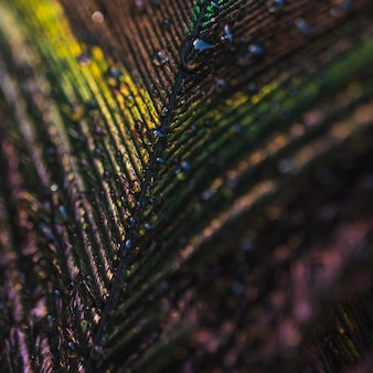 Full frame of colorful shiny peacock feather with water drops