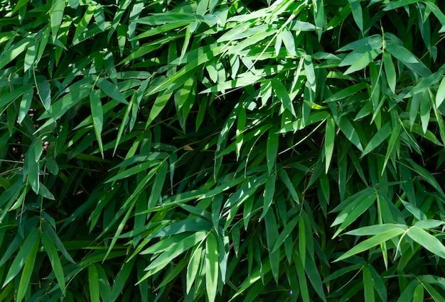 Full frame of green leaves of bamboo