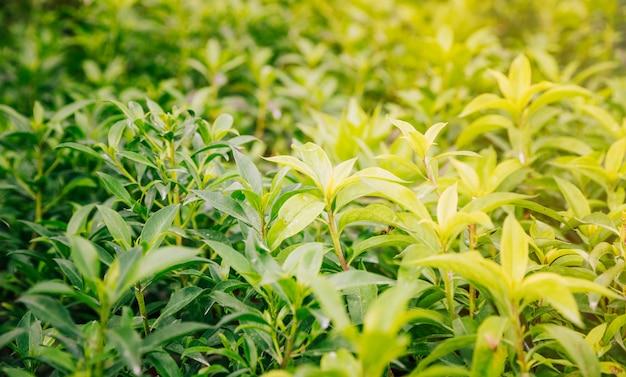 Full frame of green leaves plant