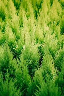 Full frame of green thuja plant background