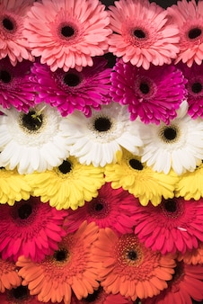 Full frame of pink; white; yellow and an orange gerbera flowers backdrop