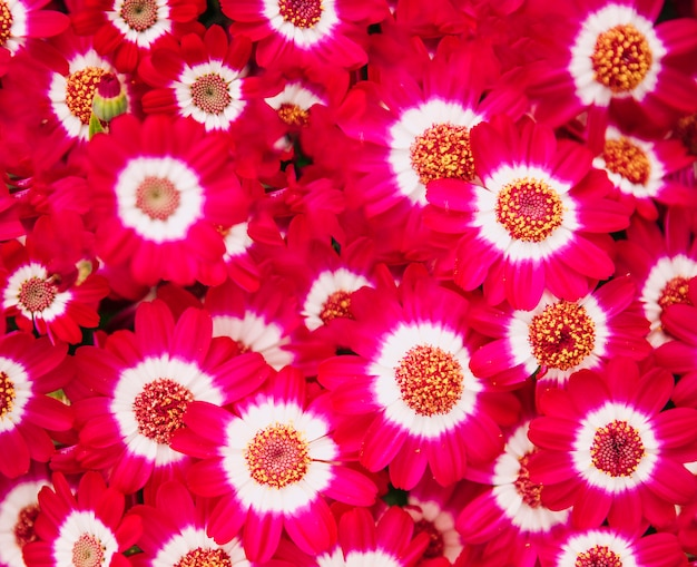 Full frame of red beautiful cineraria flowers