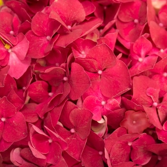 Full frame of red hydrangea macrophylla flowers