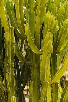 Full frame of saguaro cactus