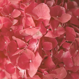 Full frame seamless natural red hydrangea flower