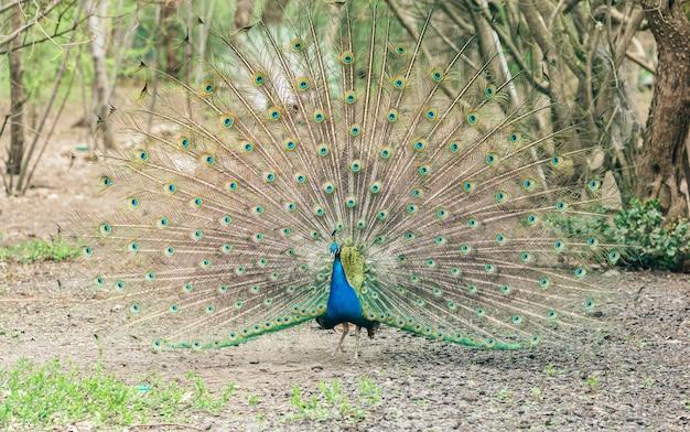 Полнокадровый снимок павлиньих перьев