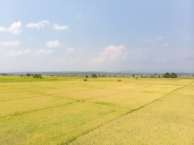 収穫準備が整った栽培された田んぼ