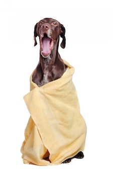 Full length of pointer dog in a towel after bathing