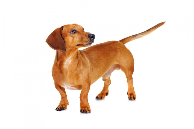 Full length portait of a dachshund dog looking to the side