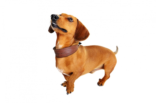 Full length portait of a dachshund dog  top view
