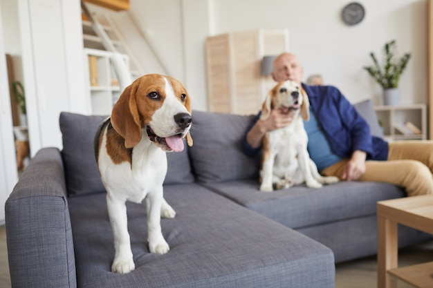 Full length portrait of cute beagle dog standing on couch with senior man