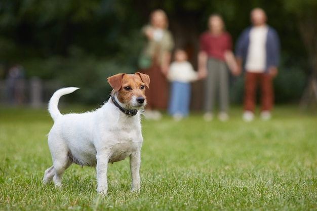Full length portrait of female jack russel terrier dog standing on green grass outdoors and looking away with silhouette of family