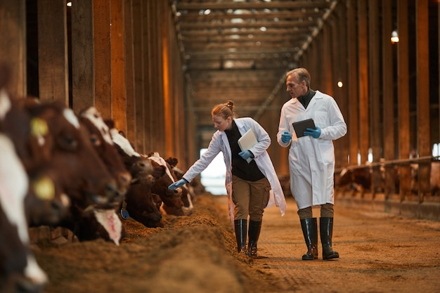 Портрет двух ветеринаров в полный рост, идущих к камере во время осмотра коров на молочной ферме, копия пространства