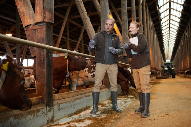 Full length portrait of two farm workers pointing at cows in shed and holding clipboards while inspecting livestock, copy space