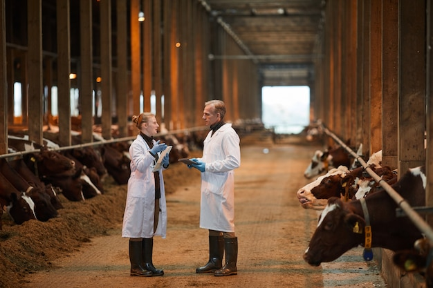 Full length portrait of two veterinarians in cow shed talking while inspecting livestock at farm, copy space