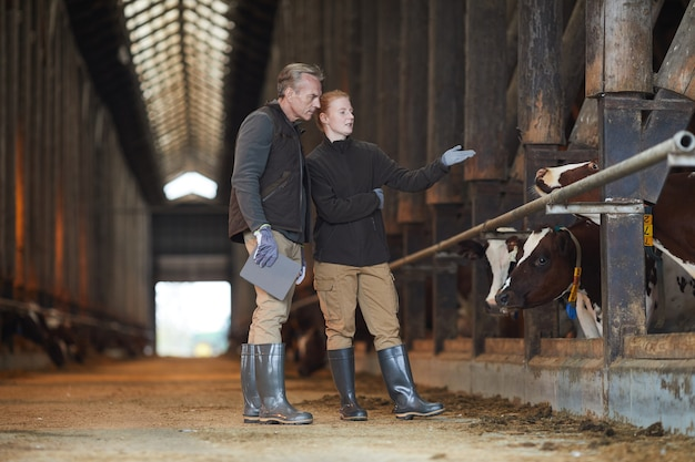 Full length portrait of two workers pointing at cow while inspecting livestock in dairy farm, copy space