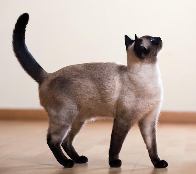 Full length shot of   siamese cat