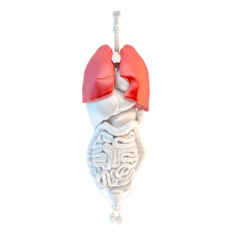 Full length view of human male internal organs with highlited lungs