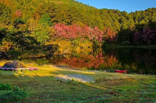 태국 북쪽에서 아침에 봄에 풀 핑크 벚꽃
