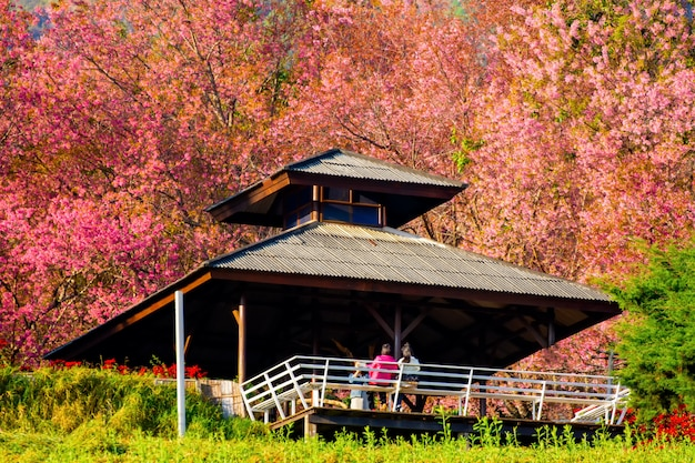 Full pink cherry blossom on spring in the morning at north of thailand, place name khun wang located at chiang mai