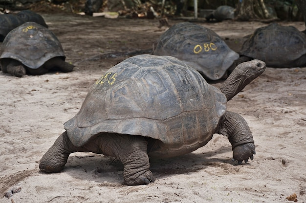 Full view of giant aldabra tortoises on curiouse island in seychelles.