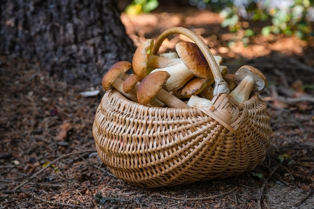 Полная плетеная корзина с подберезовиками в лесу