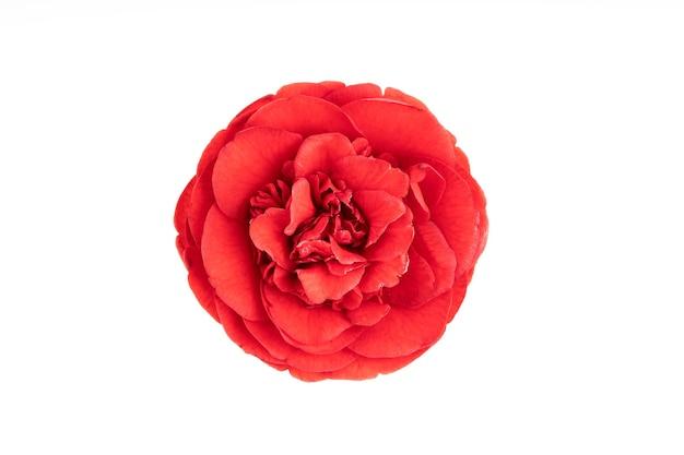 満開白に孤立した赤い椿の花。ツバキ