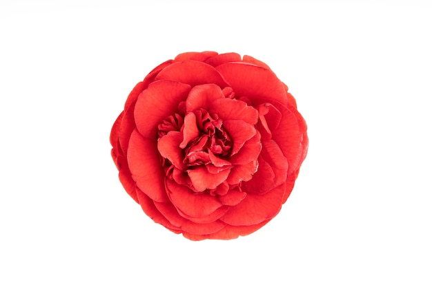 Fully bloom red camellia flower isolated on white. camellia japonica