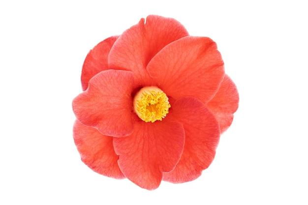 満開の赤い椿の花で、黄色い雄しべと雌しべが白で隔離されています。ツバキ