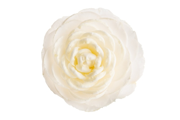 Fully bloom white camellia flower isolated on white. camellia japonica