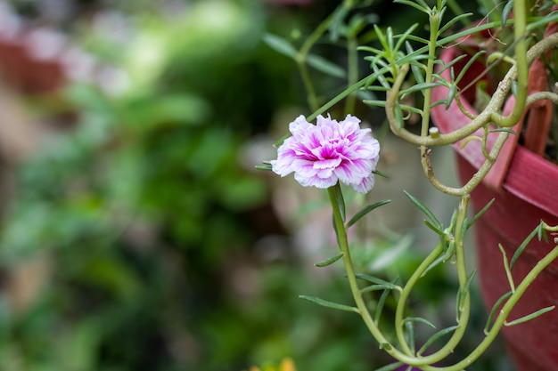 庭の吊るされた鍋に白いportulacaの花と満開の美しいピンク