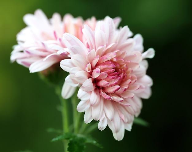 自然の中で満開の菊