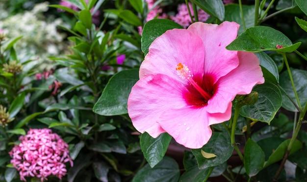 木の庭に咲いたピンクと赤のハイビスカス・ロサ・シネンシスまたはジョバの花