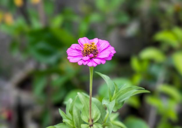 満開のピンクの百日草の花は、柔らかいボケ味の背景を持つ庭にクローズアップ