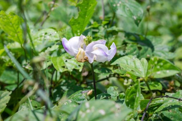 明るい日差しの中で満開のインゲンマメの花