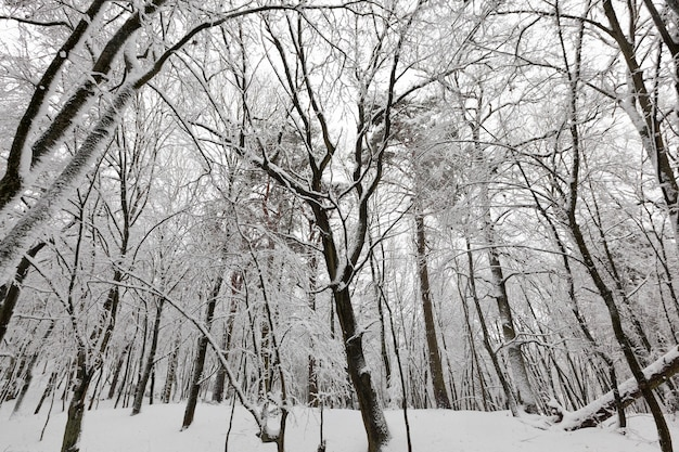 冬は落葉樹、寒くて雪の降る冬は雪に覆われ、公園や降雪後の白い雪の中の森に生えている木々