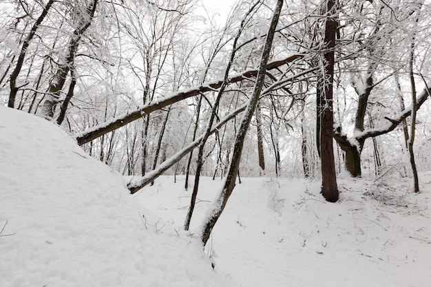 冬は落葉樹、寒くて雪の降る冬は雪に覆われ、公園や降雪後の白い雪の森に生えている木々