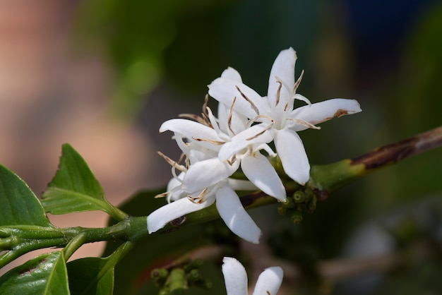 Fully flowered coffee tree
