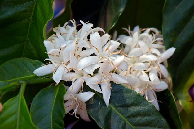 Fully flowered coffee tree