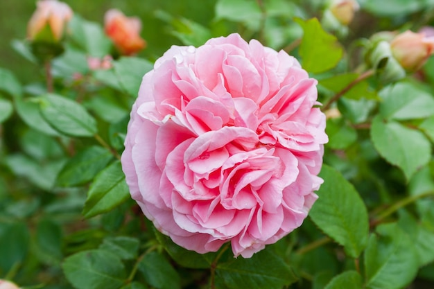 Fully open, gently pink with many shades lovely flower english rose plants