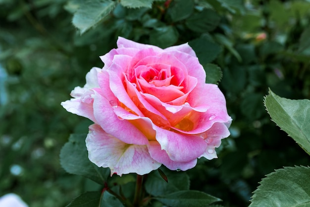 Fully open, gently pink with many shades of lovely rose flower plant