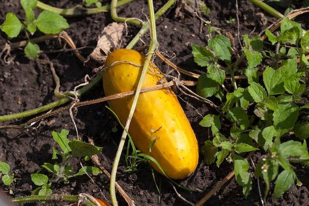 完全に熟した黄ばんだキュウリ。キュウリのある畑である春に新しいキュウリを植えるための種子が得られます。